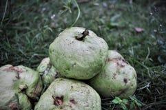 R?d guava som isoleras p? gr?nt gr?s royaltyfri fotografi