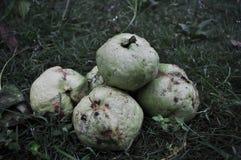 R?d guava som isoleras p? gr?nt gr?s royaltyfria bilder