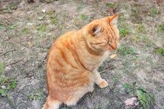 R?d-h?vdad katt Katt p? gatan fotografering för bildbyråer