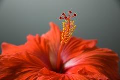 R?d hibiskus arkivfoto