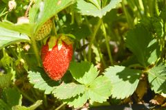 R?d jordgubbe bland gr?na sidor fotografering för bildbyråer
