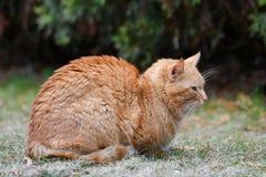 R?d katt p? gr?set R?d gr?n?gd katt som vilar p? det gr?na gr?set royaltyfria bilder