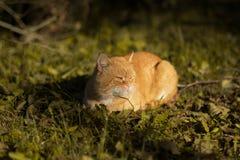 R?d katt som ligger p? gr?set arkivbild
