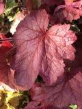 R?d leaf i fj?der royaltyfria bilder