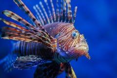 R?d lionfish - en av den farliga fisken f?r korallrev arkivfoto