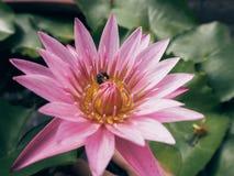 R?d lotusblomma royaltyfri foto