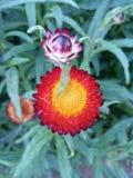 R?d och gul blomma royaltyfri foto