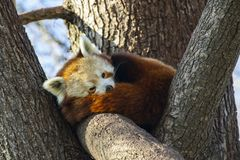 R?d panda som sover i ett tr?d royaltyfri bild