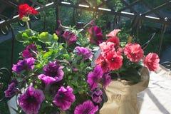 R?d pelargoniablomma och rosa och purpurf?rgade petuniablommor p? balkongen i aftonsolen arkivfoton