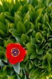 R?d ?ppen tulpan p? bakgrunden av gr?na blommor royaltyfria foton