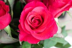 R?d ros med ett rosa handlag Inomhus med vit bakgrund royaltyfri bild