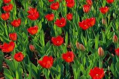 R?d tulpanbakgrund h?rlig gjord naturvektor f?r bakgrund F?rgrik ?ng av blommor arkivfoto