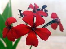 R?da blommor med fem kronblad arkivfoto