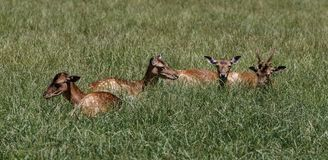 R?da hjortar, Cervuselaphus i en tysk natur parkerar arkivfoto