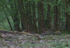 R?da hjortar i forestFallowhjortarna i gr?set arkivbilder