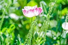 R?da och rosa vallmoblommor i ett f?lt, r?da papaverRed och rosa vallmoblommor i ett f?lt, r?d papaver royaltyfri foto