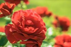 R?da ro i tr?dg?rden Sommar blommar i parkera H?rlig blom- bakgrunds? bakgrund med f?rgrika blommor royaltyfri fotografi