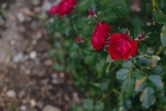 R?da rosor p? en buske i en tr?dg?rd En grupp av r?da rosor i tr?dg?rden arkivfoto