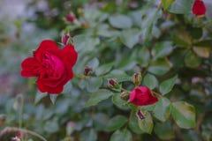 R?da rosor p? en buske i en tr?dg?rd En grupp av r?da rosor i tr?dg?rden arkivfoton
