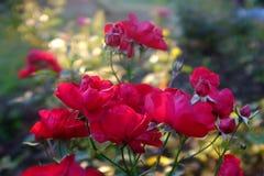 R?da rosor p? en buske i en tr?dg?rd royaltyfria bilder
