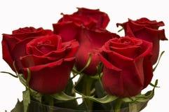 R?da rosor som symbol av f?r?lskelse och passion i buketten p? den vita bakgrunden royaltyfri bild