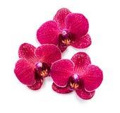 R?da tropiska blommor p? vit bakgrund fotografering för bildbyråer