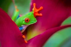 R? de ?rvore eyed vermelho Costa Rica imagem de stock