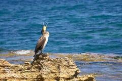 ?r?dziemnomorski kud?y Siedzi Na skale Podczas Pogodnego wiosna dnia - Phalacrocorax Aristotelis - fotografia stock