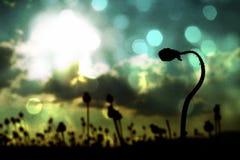 r Gambo piegato del seme di papavero Campo di sera delle teste del papavero Fotografie Stock
