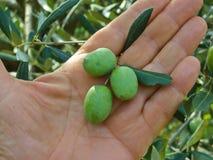 ręk zielone oliwki Obraz Stock