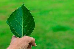 Ręka chwyt bo leaf Obraz Royalty Free
