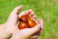 ręka chwyta nafcianej palmy ziarno Zdjęcia Stock