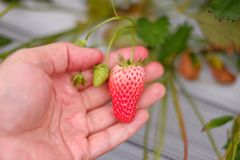Ręka chwyta truskawki przy gospodarstwem rolnym Obraz Stock