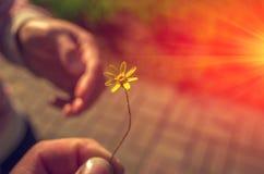 Ręka daje dzikiego kwiatu przy zmierzchem Obraz Royalty Free