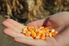 Ręka kobiety mienia kukurudza Zdjęcia Stock