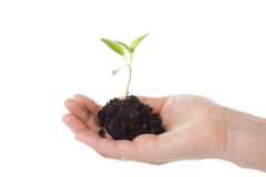 ręka kobiety transplantacji drzewo Zdjęcia Stock