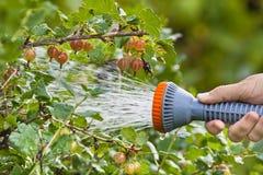 Ręka nawadnia agrestowego krzaka w ogródzie Zdjęcie Stock