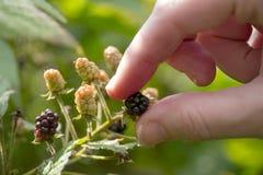 Ręka Podnosi Dziki Blackberry zdjęcie stock