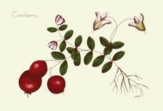 Ręka rysunek cranberry Zdjęcie Royalty Free