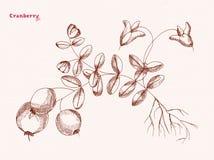 Ręka rysunek cranberry Zdjęcia Royalty Free
