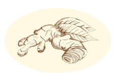 Ręka rysunkowy imbir, wektorowa ilustracja Fotografia Stock