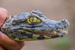 Ręka trzyma dziecko krokodyla Zdjęcie Stock