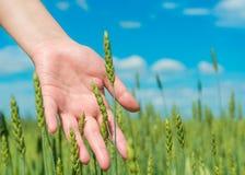 Ręka w zielonym rolniczym polu Zdjęcie Royalty Free