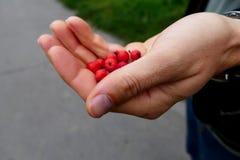Ręka z czerwonymi rowan jagodami Obraz Royalty Free