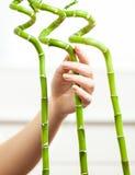 Ręka z manicure'em dotyka dekoracyjnego bambusa Zdjęcia Royalty Free