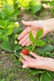 Ręka z truskawkami w ogródzie Obrazy Stock