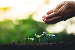 R kawowych fasoli rośliny kawowego drzewa ręki opiekę i nawadniać drzewa Evening światło w naturze Zdjęcia Royalty Free