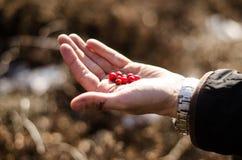 Ręki mienia cranberries Zdjęcie Royalty Free