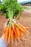 Ręki mienia marchewki Obraz Royalty Free