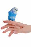 ręki papuga Fotografia Royalty Free